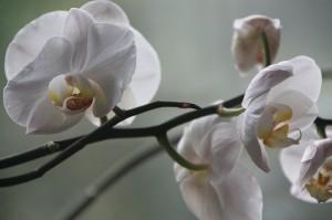 Как ухаживать за орхидеей