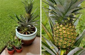 Получаем урожай ананаса